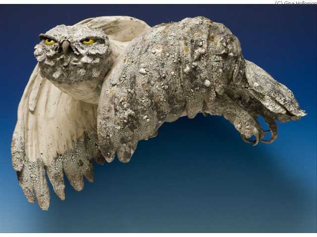 Snowy Owl 'Looking for Lemmings' Gina Hollomon 2007